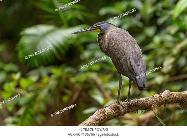 Bare-throated Tiger Heron (Tigrisoma mexicanum) - at Laguna Lagarto Lodge near Boca Tapada, Costa Rica