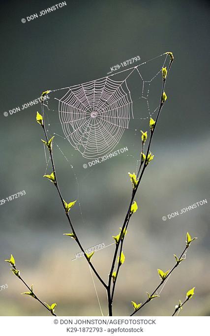 Orb-weaver spider web in a birch sapling in early spring, Greater Sudbury, Ontario, Canada