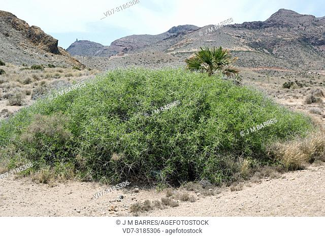 Arto (Ziziphus lotus) is a prickly deciduous shrub native to southeastern Spain, north Africa and Arabia. This photo was taken in Cabo de Gata Natural Park