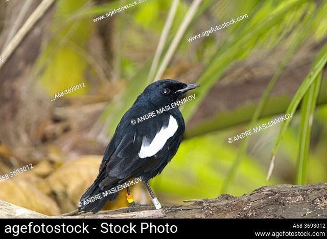Denis Island. Seychelles Magpie-Robin, Copsychus sechellarum