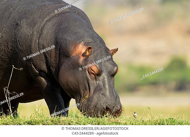 Hippopotamus (Hippopotamus amphibius) - Grazing at the bank of the Chobe River next to a little bird. Photographed from a boat