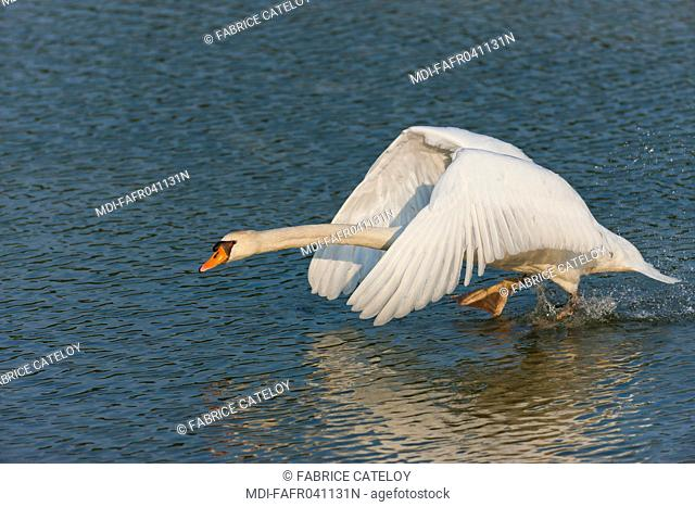 Nature - Fauna - Bird - Attack of a male swan in order to protect its nest