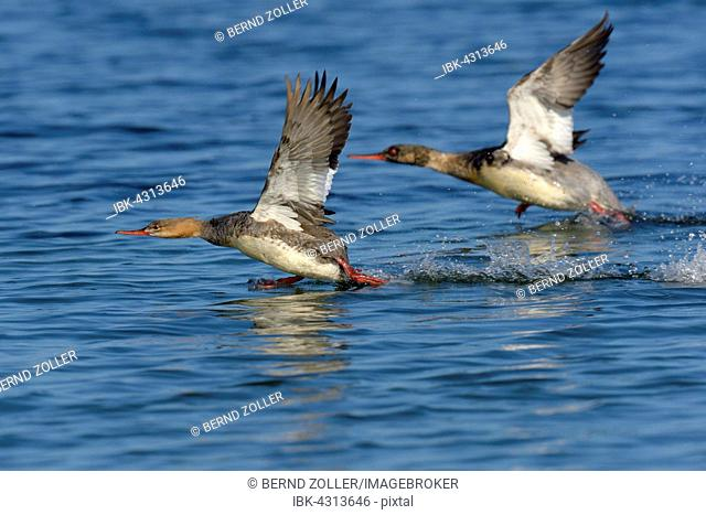 Red Breasted Merganser Duck Flying