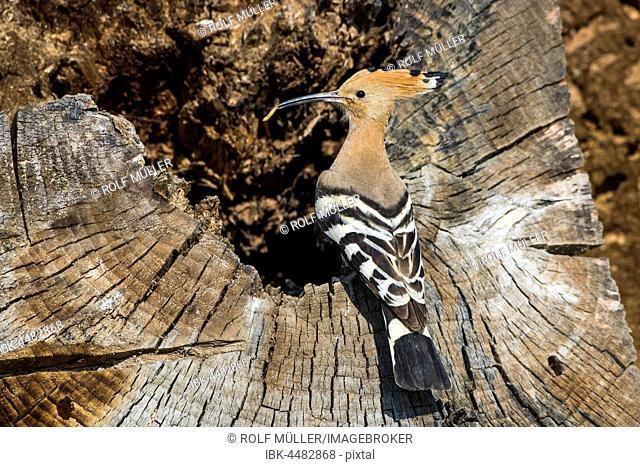 Hoopoe (Upupa epops) with prey in beak in rotten tree trunk, breeding burrow, Danube Delta, Dobruja, Romania