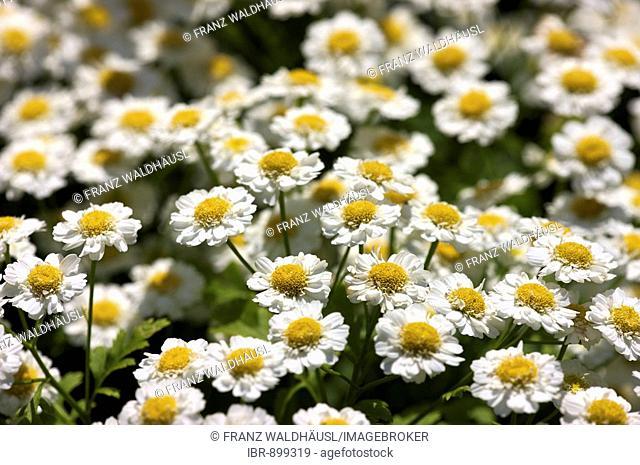 Chamomile (Matricaria recutita), blossoms