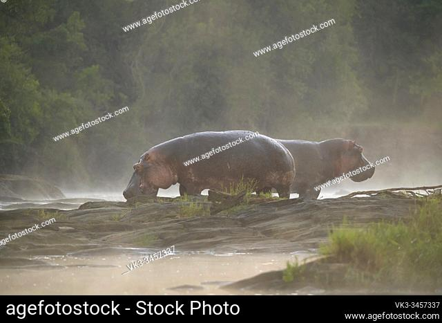 Hippo at dawn on Olare Orok river, Masai Mara National Reserve, Kenya, Africa
