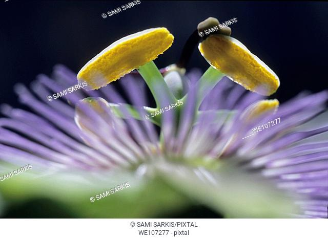 Stamen of a Passionflower Passiflora edulis, France