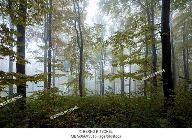 Autumn forest at the Nusshardt, Fichtel Mountains, Bavaria, Germany