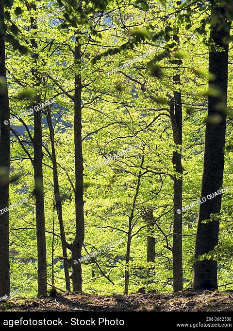 Springtime beech forest (Fagus sylvatica) at Jaca d'en Torra site. Montseny Natural Park. Barcelona province, Catalonia, Spain