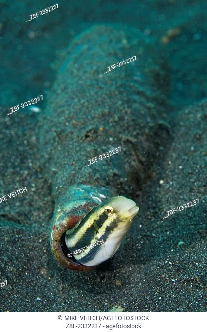 Shorthead fangblenny in a bottle, Petroscirtes breviceps, Lembeh Strait, Bitung, Manado, North Sulawesi, Indonesia, Pacific Ocean