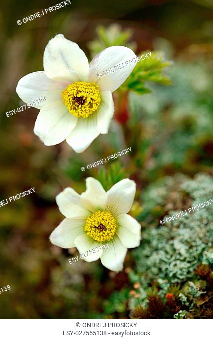 Alpine Pasqueflower, Pulsatilla alpina