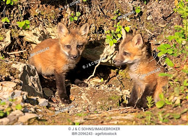 Red Foxes (Vulpes vulpes), two pups, ten weeks, at the den, Montana, USA, North America