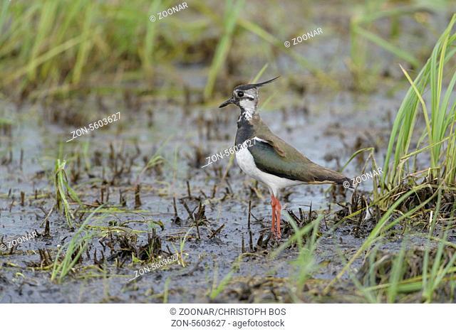 Kiebitz, Vanellus vanellus, Northern Lapwing