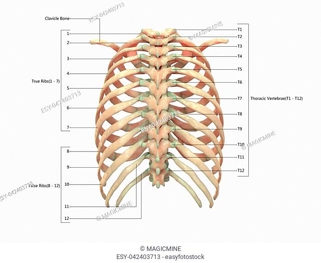 Muscle Shoulder Posterior View Stock Photos And Images Age Fotostock
