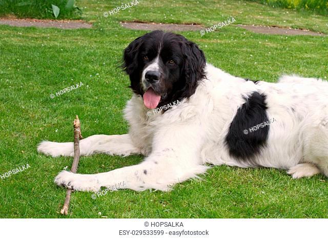 Landseer dog lying in a garden and playing and holding a branch