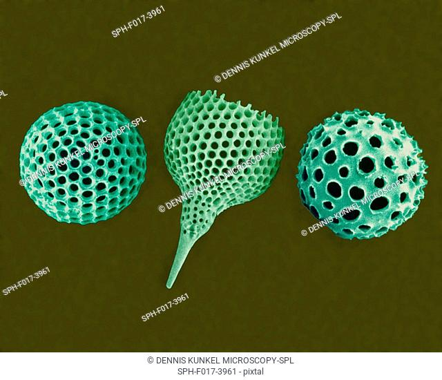 Radiolarian tests (salt water), coloured scanning electron micrograph (SEM). The hard skeletons are composed of silica or strontium sulphate
