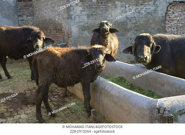 Buffalo farm Kharian village Pakistan