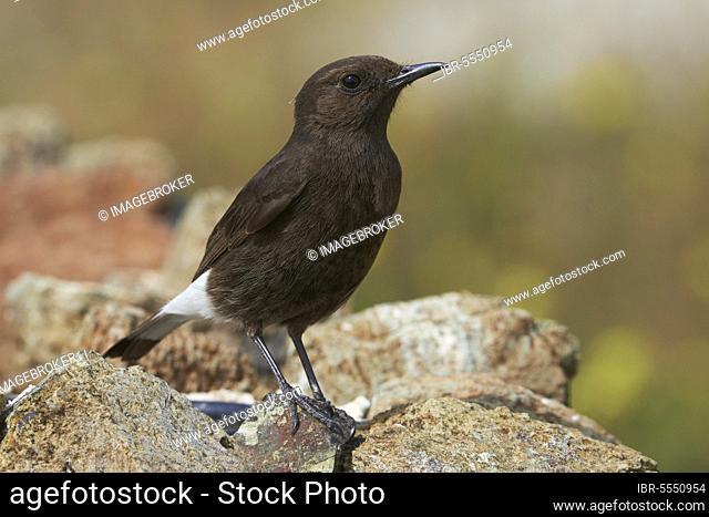 Black Wheatear (Oenanthe leucura), Black Wheatear, Songbirds, Animals, Birds, Black Wheatear, Female, Benalmadena, Malaga, Spain, Andalusia, Europe