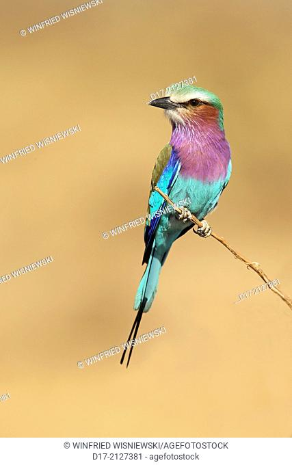 Lica-breasted roller perched on a twig. South Luangwa National park, Zambia