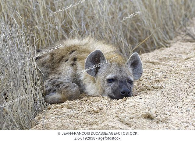 Spotted hyena or Laughing hyena (Crocuta crocuta) cub, lying on the edge of a dirt road, half asleep, Kruger National Park, South Africa, Africa