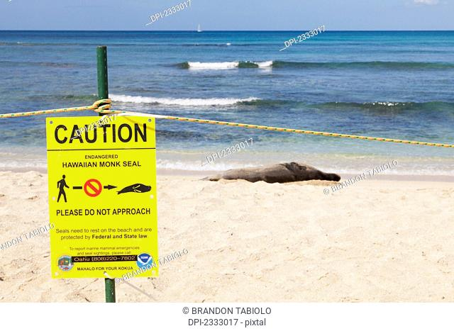 A hawaiian monk seal on the shore behind a protective barrier;Waikiki oahu hawaii united states of america