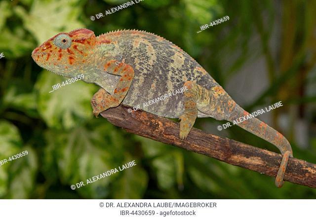 Malagasy giant chameleon or Oustalets's chameleon (Furcifer oustaleti) on branch, female, pregnant, Ankaramibe, northwestern Madagascar, Madagascar