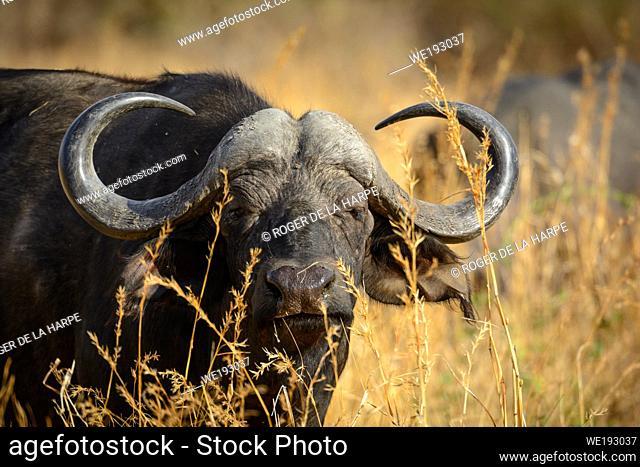 African buffalo or Cape buffalo (Syncerus caffer). Ruaha National Park. Tanzania