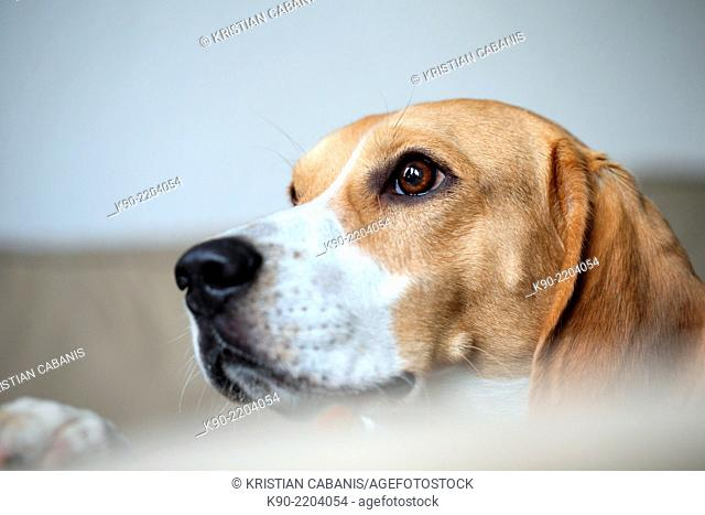 Head photo of Tricolor Beagle looking curious, Berlin, Germany, Europe