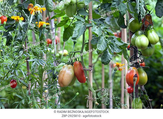 Tomatoes ripenig on the vine in the garden