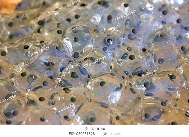 Macro shot of European common frog (Rana temporaria) spawn