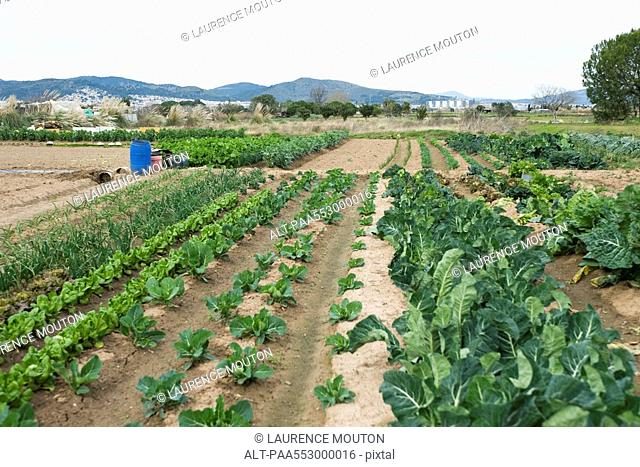 Variety of vegetables growing in field