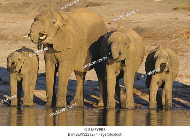 African elephant Loxodonta africana, herd at water place, Botswana, Chobe National Park, Savuti Reservat