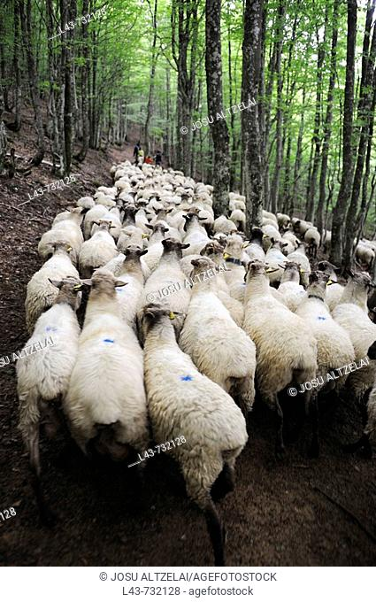 Transhumance to higher pastures in Urbia from 'caserío' (typical farm) in the lowland, Basque Country, Spain