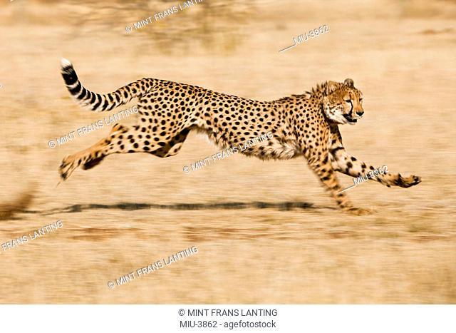 Cheetah running, Acinonyx jubatus, Cheetah Conservation Fund, Namibia