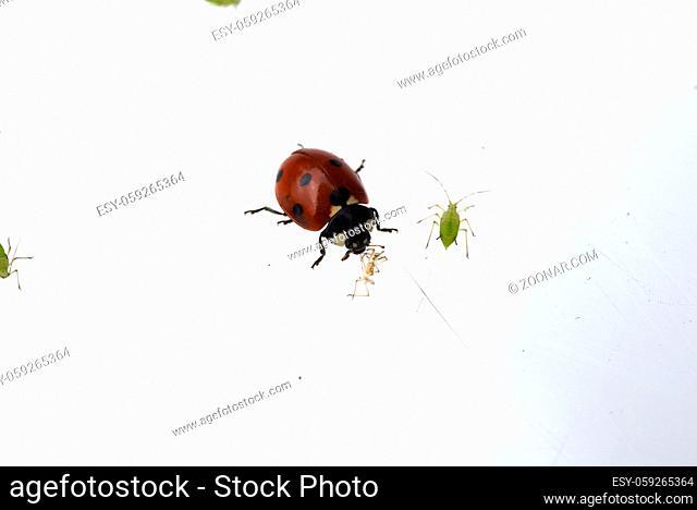 Marienkaefer; Coccinella; semptempunctata