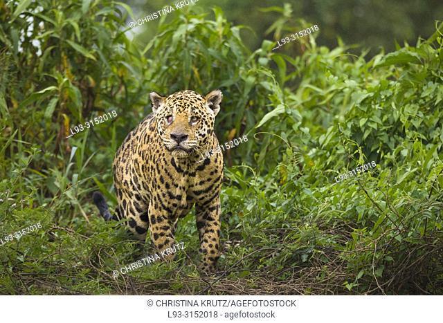 Adult Jaguar (Panthera onca) with an injured eye, Pantanal, Mato Grosso, Brazil