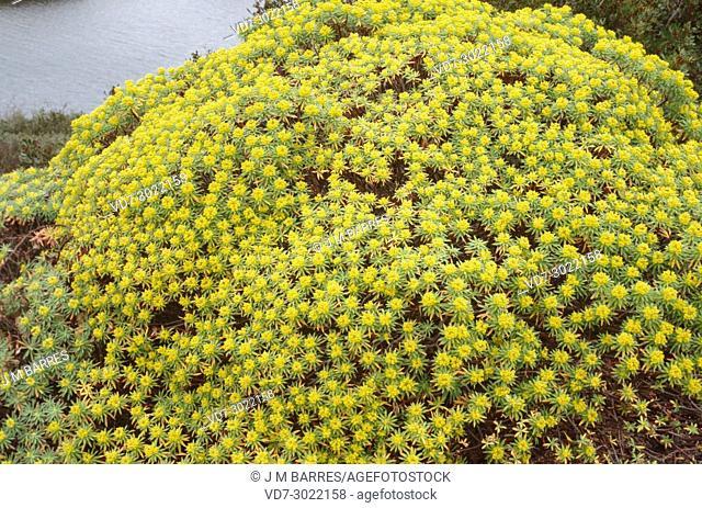Tree spurge (Euphorbia dendroides) is a shrub native to Mediterranean coastline. This photo was taken in Menorca Island, Balearic Islands, Spain