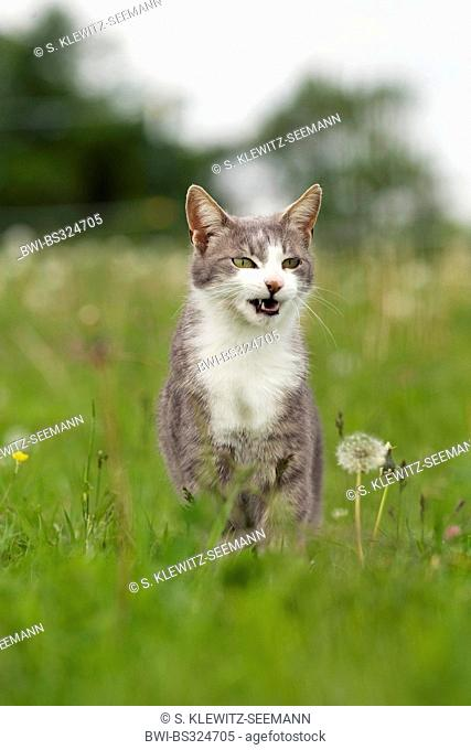 domestic cat, house cat (Felis silvestris f. catus), sitting in a meadow and meowing, Germany