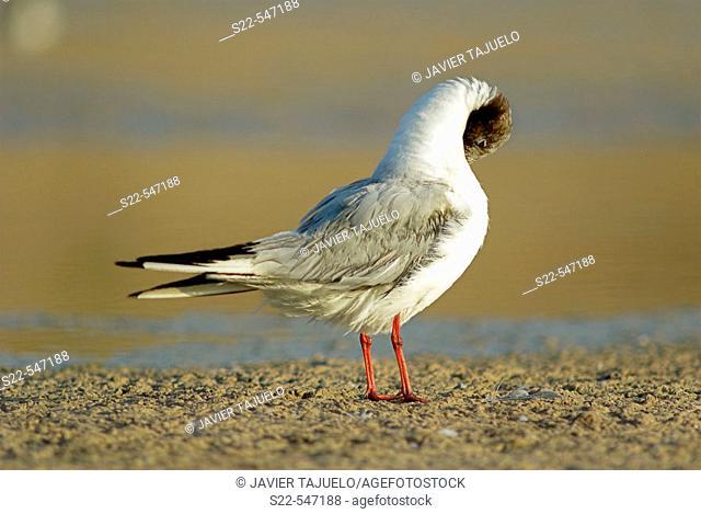 Black-headed Gull, Larus ridibundus, Marjal del Moro, Comunidad Valenciana. Spain