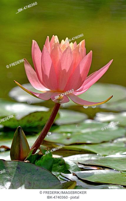Water Lily, Sunny Pink (Nymphaea hybrid), pink flower, Germany