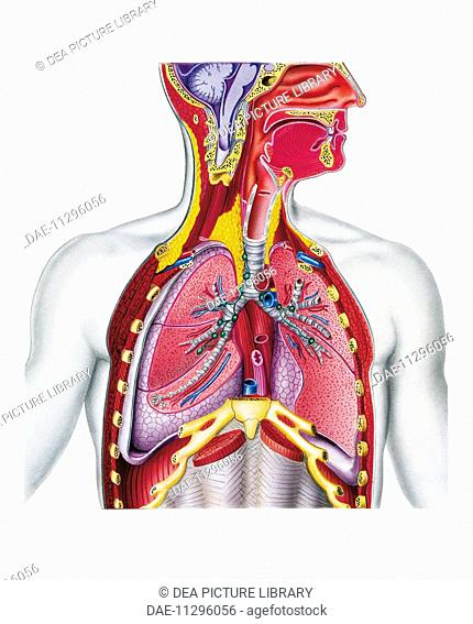 Medicine - Anatomy - Respiratory system. Drawing, section