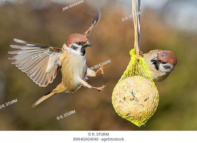 Eurasian tree sparrow (Passer montanus), landing at a fat ball, Germany, Bavaria, Niederbayern, Lower Bavaria