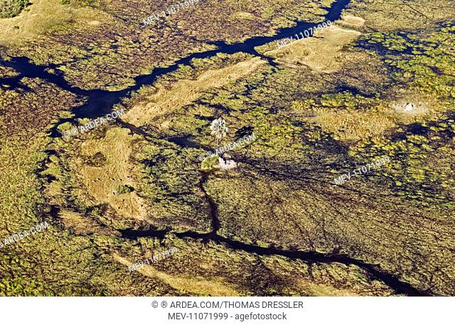 Freshwater marshes with streams, channels and islands with a lone Real Fan Palm (Hyphaene petersiana) also called Makalani Palm aerial view - Okavango Delta