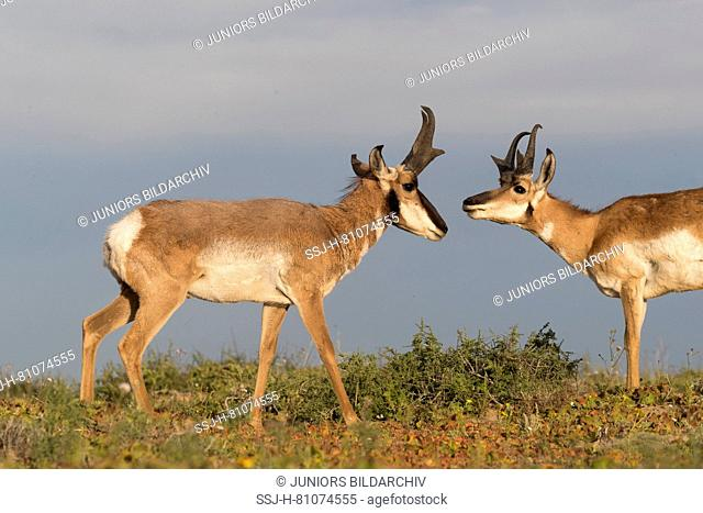 Baja California Pronghorn (Antilocapa americana peninsularis). Two adult males sniffing at each other. The wild population is estimated at 200