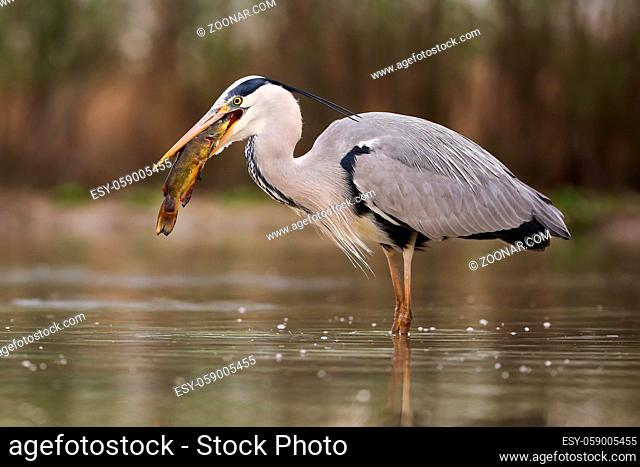 Grey heron, ardea cinerea, hunting for a fish inside a river in springtime nature. Long-legged bird fishing in water in spring