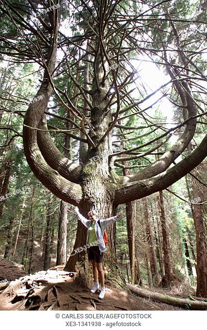 Candelabrum tree, Madeira, Portugal
