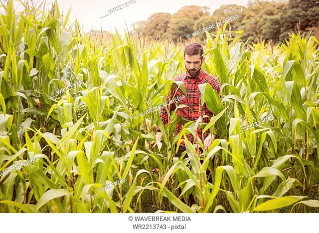 Man walking in a corn field