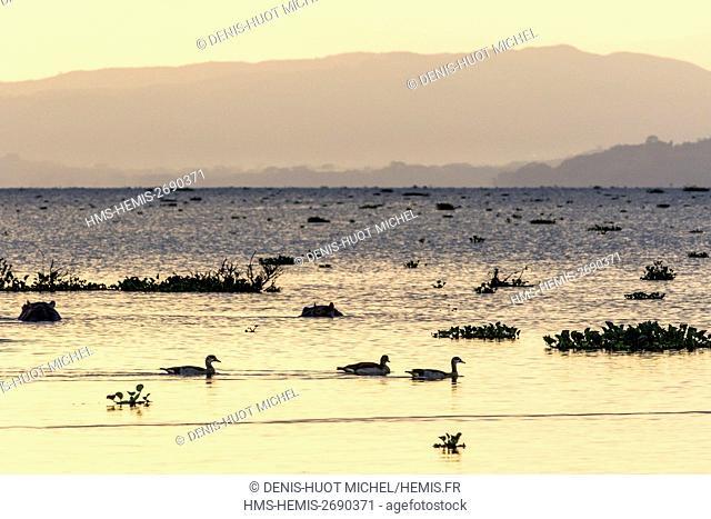 Kenya, lake Naivasha, hippopotame (Hippopotamus amphibius) and egyptian goose (Alopochen aegyptiaca), at sunset