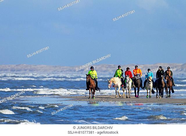 Domestic Horse. A group of riders at the Danish North Sea coast. Midtjylland Denmark