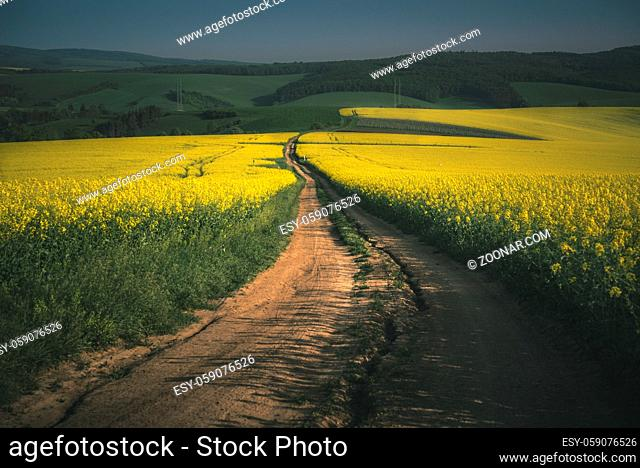Countryside road between yellow rapeseed fields in the South Moravia region, Czech Republic